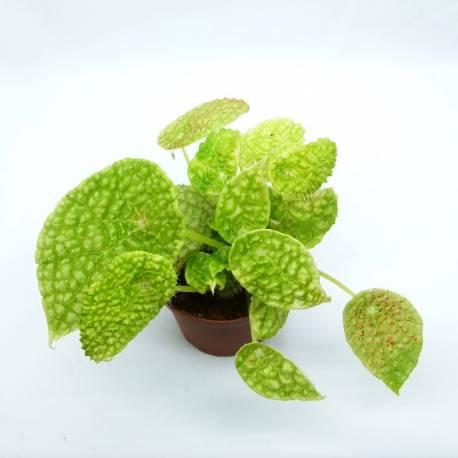Begonia ficifolia Microsperma