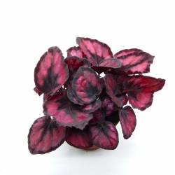 Begonia rex Rouge foncé et Noir - Pot 9cm