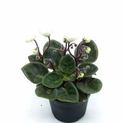 Saintpaulia ionantha à fleur blanche