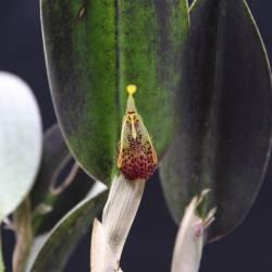 Restrepia muscifera en floraison - Fleur rouge et jaune pour ce clone