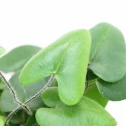 Hemionitis arifolia - Fougère coeur