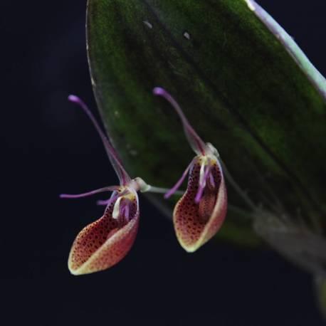 Restrepia cymbula - Orchidée botanique miniature