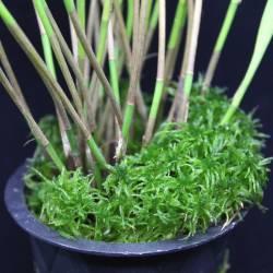 Mise en situation de la sphaigne longue fibre en culture dans un pot d'orchidée