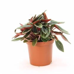 Peperomia rosso