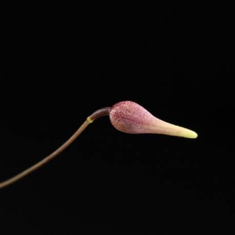 Fleur de Pleurothallis anthrax juste avant ouverture