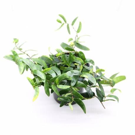Ficus punctata var. panama - Plante de terrarium