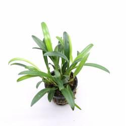 Masdevallia herradurae - Orchidée botanique miniature