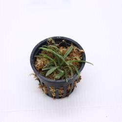 Dryadella cristata