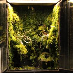 Vesicularia Dubyana Mini Christmas In Vitro