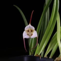 Dracula lotax - Orchidée botanique miniature