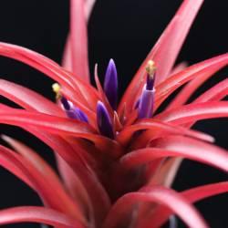 Tillandsia brachycaulos multiflora en floraison
