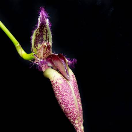 Bulbophyllum Hans Delight