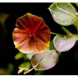 Lepanthes telipogoniflora - Orchidée botanique miniature