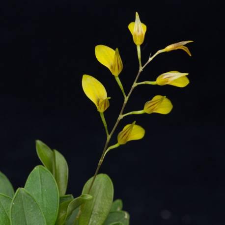Specklinia groby small - Orchidée botanique miniature
