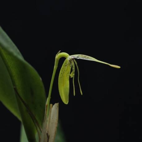 Restrepia mendozae - Orchidée botanique
