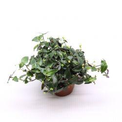 Tradescantia geniculata - Plante rampante idéale terrarium
