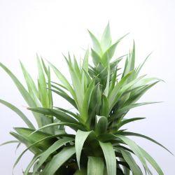 Ananas bracteatus Elyne Green
