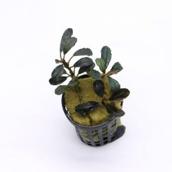 Bucephalandra Central Cali