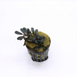 Bucephalandra Helious