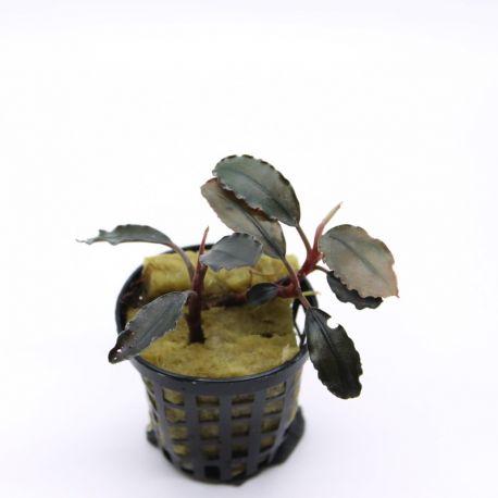 Bucephalandra Panahan