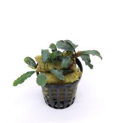 Bucephalandra Brownie Hermes