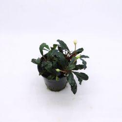 Bucephalandra Lamandau Red