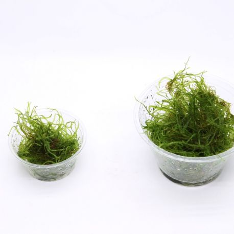 Taxiphyllum barbieri en portion (60 ou 200ml)