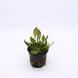 Scaphosepalum digitale - Orchidée botanique miniature épiphyte