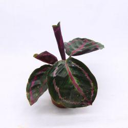 Maranta Jungle Rose