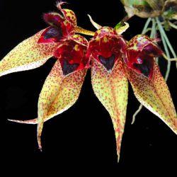 Cirropetalum ornatissimum x frostii
