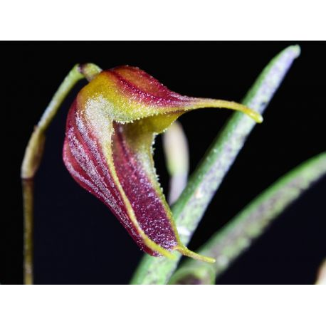 Trisetella triglochin Short Tails