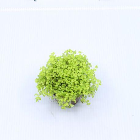 Soleirolia soleirolii Jaune- Helxine