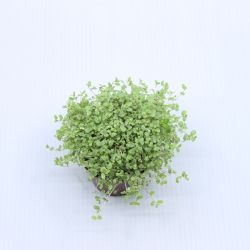 Soleirolia soleirolii Argenté - Helxine