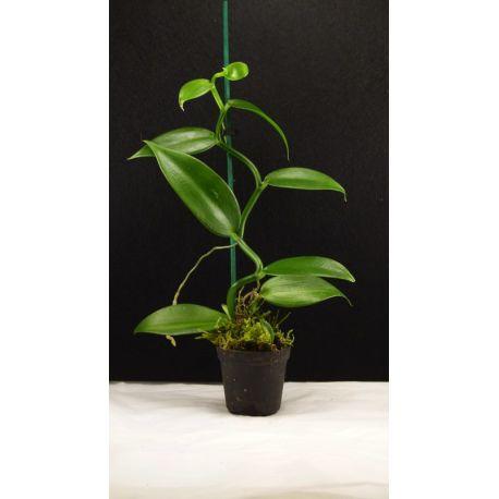 Vanille- Vanilla planifolia