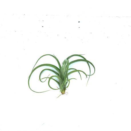 Tillandsia Curly