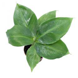 Mini Bananier - Musa acuminata - Bananier d'intérieur