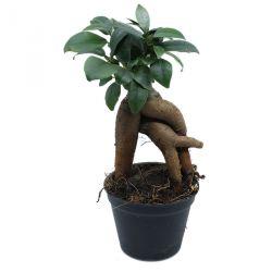 Ficus microcarpa - Ficus bonsaï