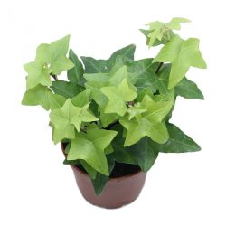 Hedera helix - Lierre vert