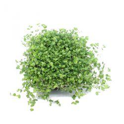 Soleirolia soleirolii Vert - Helxine