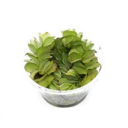Salvinia natans - Plante flottante dépolluanteSalvinia natans - Quantité vendue équivalent à 10x10cm (environ 200ml)