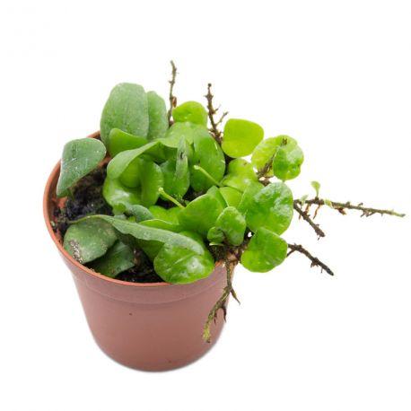 Lemmaphyllum microphyllum var. obovatum