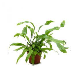 Microsorum diversifolium - Fougère Kangourou