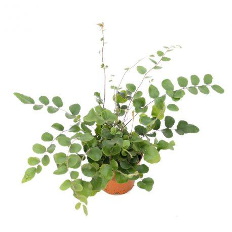Pellae rotundifolia