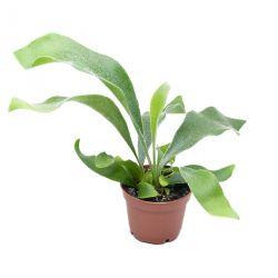 Platycerium bifurcatum - Corne d'élan