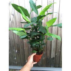 Elettaria cardamomum - Forte plante 40cm de haut