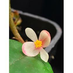 Bégonia schulzei (syn. elaeagnifolia)
