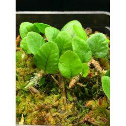 Microgramma vaccinifolium
