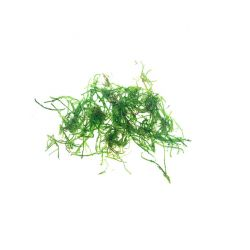 Vesicularia ferriei Weeping en portion (60 ou 200ml)