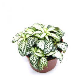 Fittonia verschaffeltii Vert et Blanc