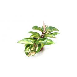 Hoya carnosa Tricolor - Fleur de porcelaine
